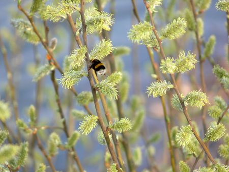 gadfly: Catkins and a gadfly