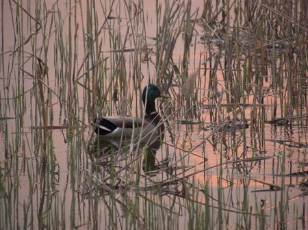 A duck at sunset photo