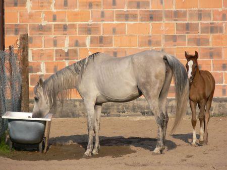 caballo bebe: Caballos de Arabia  Foto de archivo