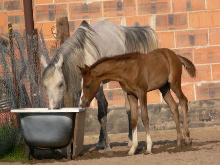 Acqua potabile dei cavalli arabi Archivio Fotografico - 412852