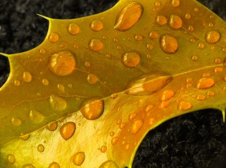 Raindrops on a holly leaf photo