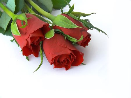 to commit: Red roses against white background