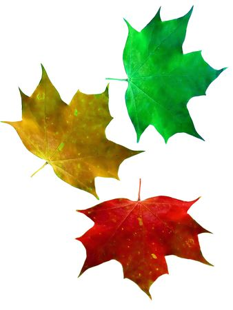 Colorful maple leaves photo