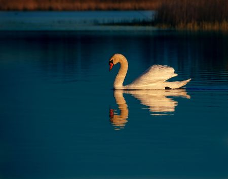 A swan floating on the lake photo