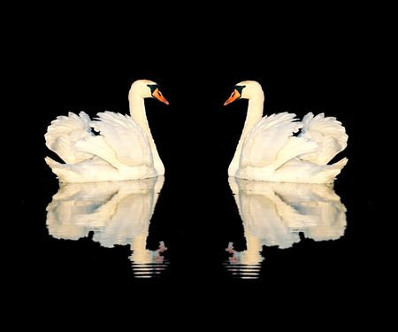 A couple of swans isolated on black background Stock Photo - 883747