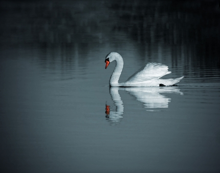 reflection in mirror: A swan floating on the lake