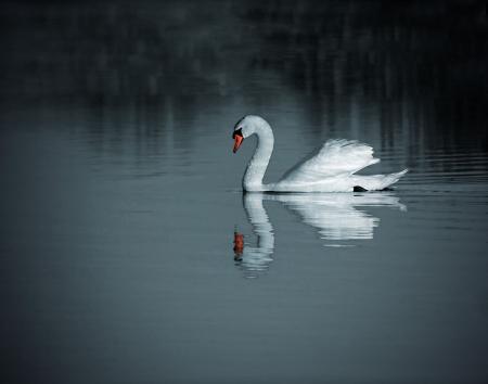 spiegels: Een zwaan drijvend op het meer
