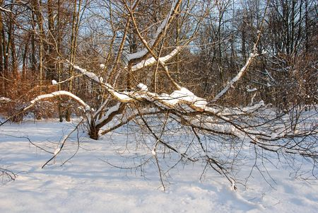 snowlandscape: A fallen tree covered with snow