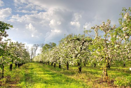 apple orchard: Apple orchard in blossom Stock Photo
