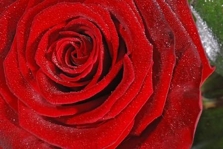 sprinkled: Macro of a red rose sprinkled with water