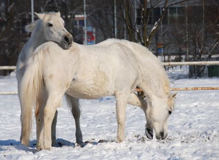 White horses in the snow Stock Photo - 5260343