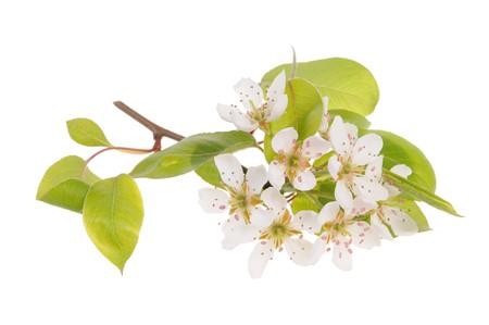 Birne-Baum-Zweig in Blüte, die isoliert auf weißem Hintergrund