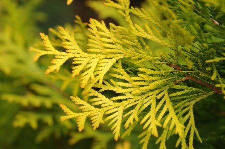 Thuja abstract background photo