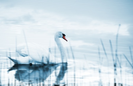 Swan floating on a lake photo