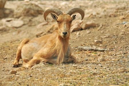 mouflon: Mouflon resting on the ground