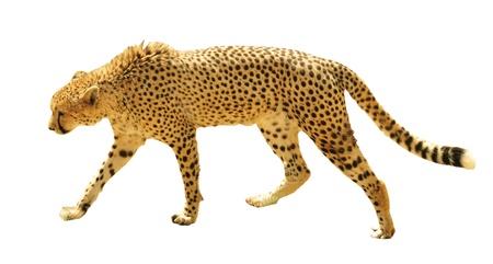 chita: Cheetah aisladas sobre fondo blanco