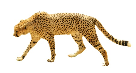 Cheetah isolated on white background Stock Photo