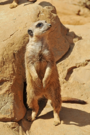Cute meerkat standing up photo