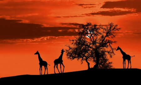 Giraffes in Africa at sunset silhouette photo
