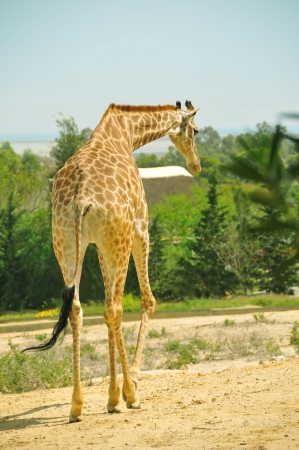Giraffe walking with trees in the background Stock Photo - 13819421