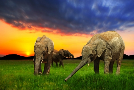 Elephants eating grass at sunset