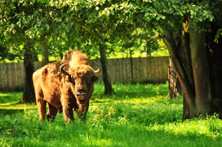 Buffalo in nature reserve in Bialowieza, poland