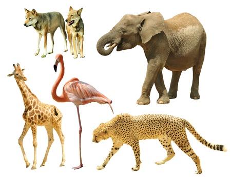 animal in the wild: Montaje de los animales salvajes aisladas sobre fondo blanco