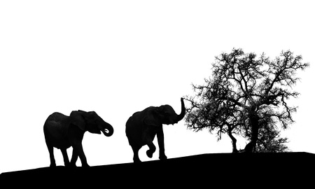 A couple of elephants silhouette isolated on white background photo