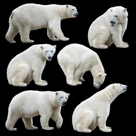 oso blanco: Oso polar aislado en el fondo negro