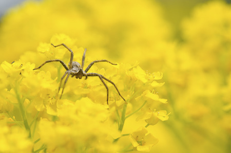 predatory insect: Spider hunting in spring flowers