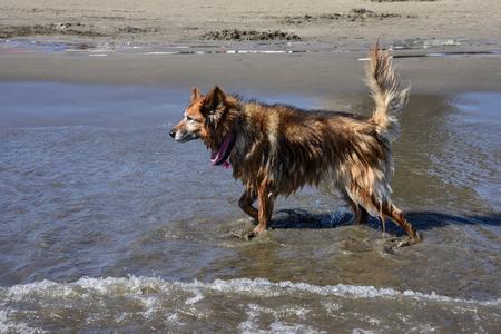Border collie on the beach 写真素材 - 101225161
