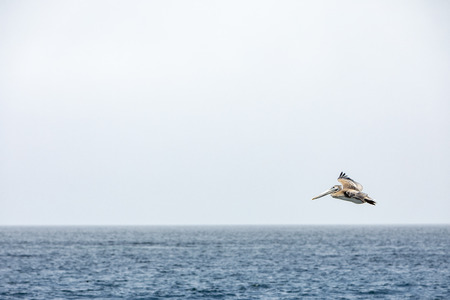 A pelican flying over the blue ocean