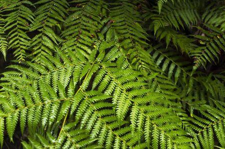 Closeup of fern fronds in an Australian rainforest. Green leaves of fern plants.