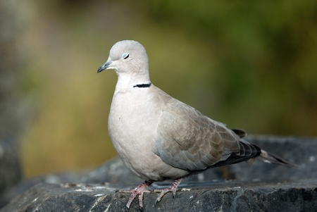 grey dove on the rock photo