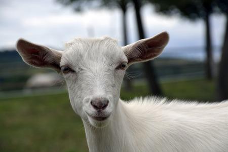 testa: una cabra en la granja Foto de archivo