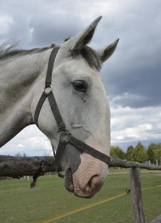 cabeza: caballos en la granja