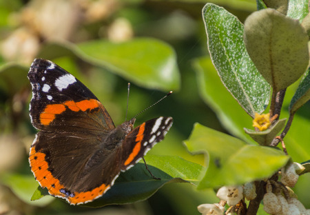 admiral: Red admiral on a sunny autumns day Stock Photo