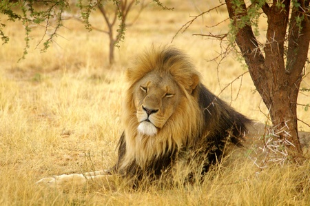 thorn: A male lion catching a nap under a tree in Africa.  Stock Photo