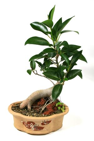 feigenbaum: Ein Bonsai Feigenbaum montiert auf einem Felsen.  Lizenzfreie Bilder