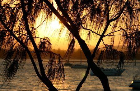 Casuarina tree framed against the setting sun. Stock Photo - 802531