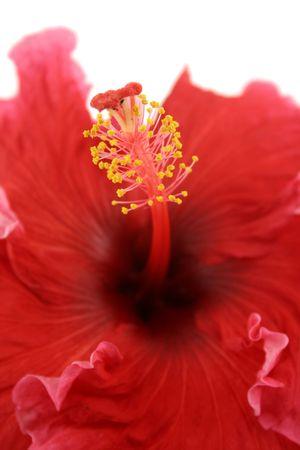 Striking deep red hibiscus flower with golden stamen. photo