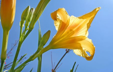 unopened: Sun shines translucently through a beautiful yellow day lily.