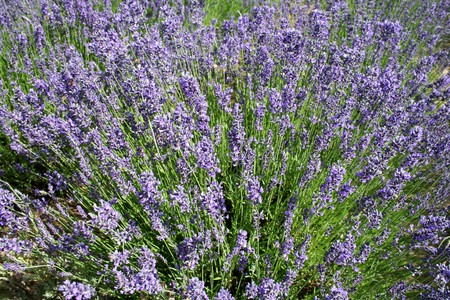 Purple lavender flowers in a field of lavender shrubs. photo