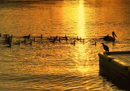 Ducks and pelicans swim in the dawn sun. photo