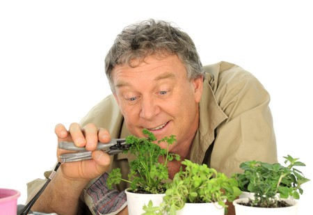 Middle aged gardener prunes his parsley and herbs. Stock Photo - 7876013