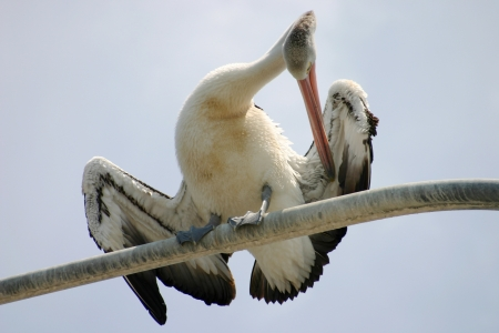 Large pelican standing and preening itself on a perch. Stock Photo - 18652112