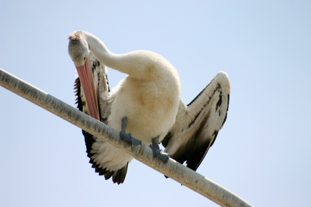 Large pelican standing and preening itself on a perch. Stock Photo - 18652105