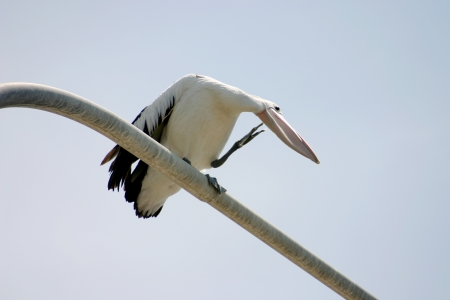 Large pelican standing and preening itself on a perch  Stock Photo - 18652110