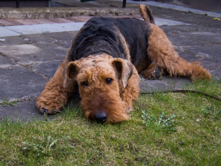 airedale terrier dog: Airedale terrier Stock Photo