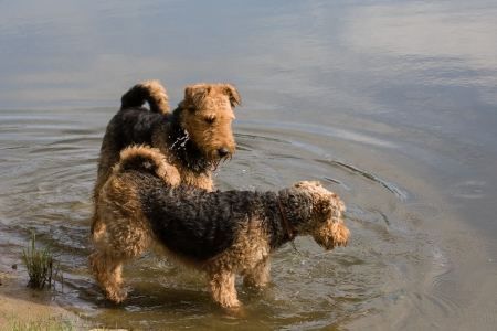 airedale terrier dog: Airedale terriers Stock Photo
